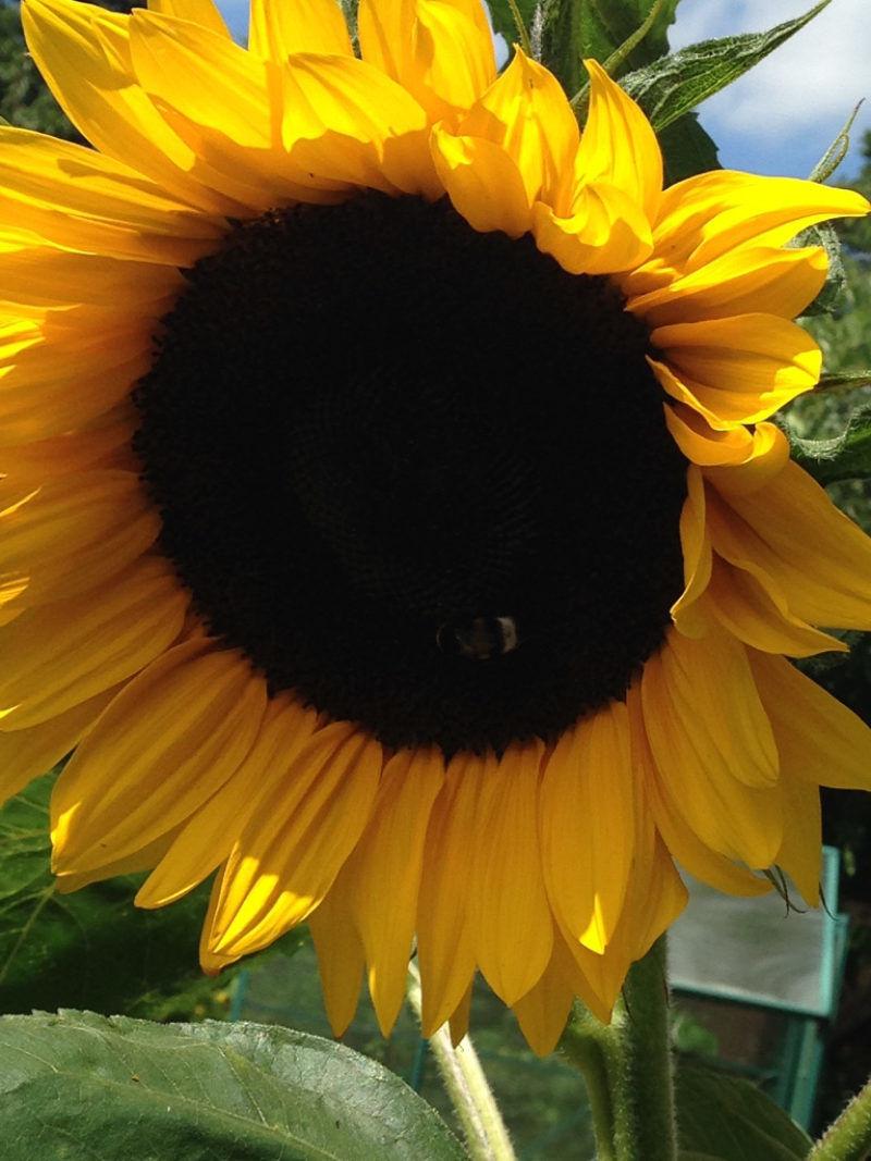 "Sonnenblumen  <br /><span class=""second""> Blumen Fingerspiel</span>"