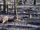 Fünf Schweinchen