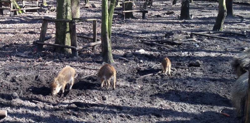 Fünf Schweinchen kommen gelaufen</span>